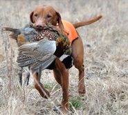 Vizsla Kosmo -- CH Derby's Read Em And Weep MH -- Retrieving a Pheasant