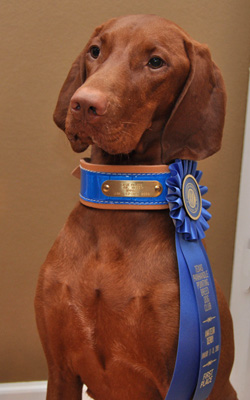 Vizsla Amante shows of her blue ribbon and flash collar for her Amateur Derby win worth 2 points toward her Amateur Field Championship and Field Championship titles.
