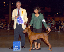 Vizsla Amante and Proud Mom Mel win a major toward Amante's AKC confomation title