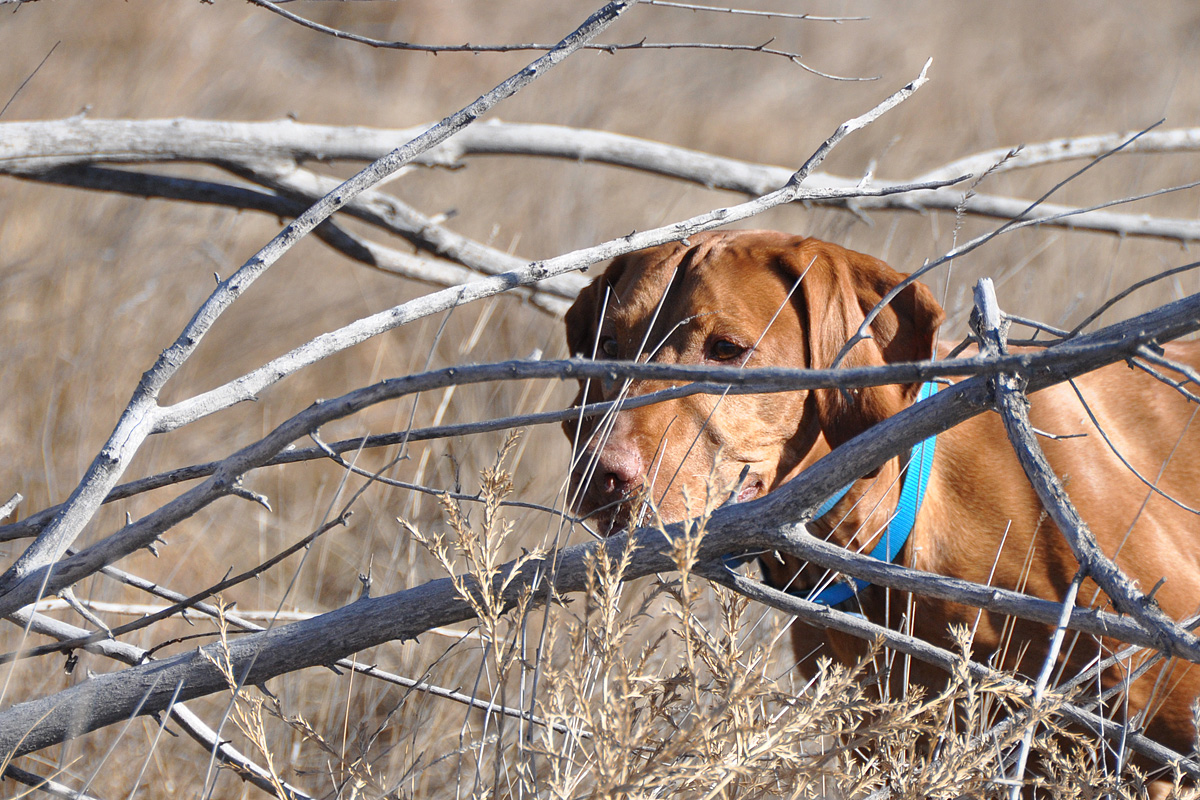 Vizsla Remus steady through the shot