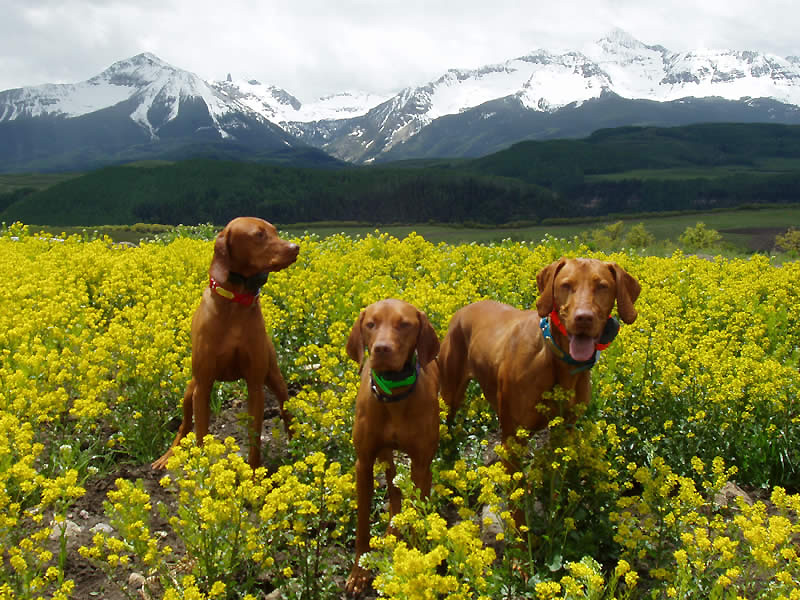 Vizslas Kosmo, Lola, and Remus hiking in Telluride Colorado