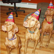 Vizslas Remus and Kosmo celebrating little sister Lola's birthday