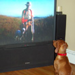 Vizsla Kosmo watching his favorite hunting show