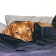 Remus the Vizsla hangs out in bed